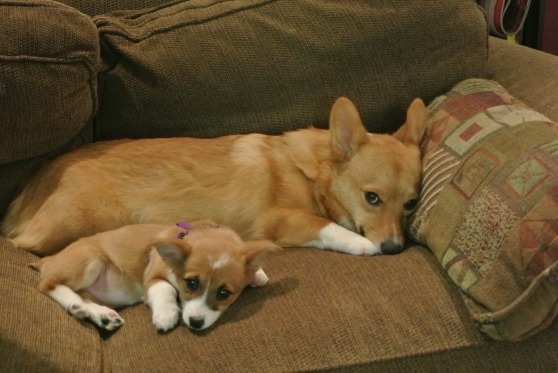 Image Result For Can Corgis Be